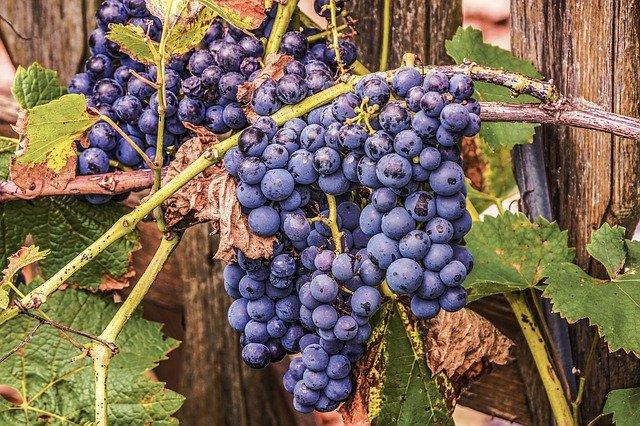 vinograd slika