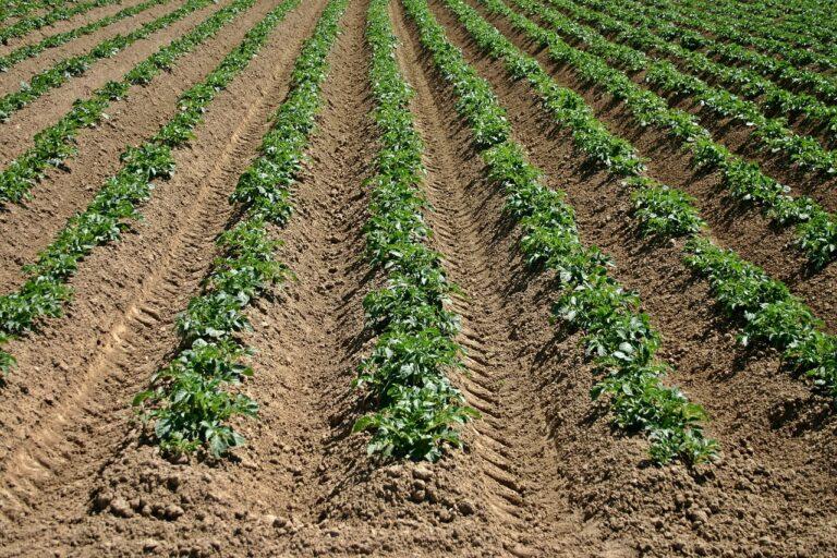 sadnja krompira 2021